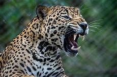 costa jaguar shutterbug