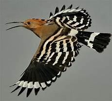 Fantastis 20 Gambar Burung Hud Hud Gani Gambar