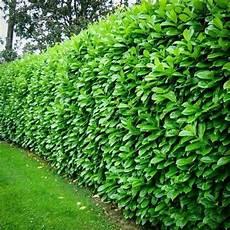 Cherry Laurel Garden Hedges Evergreen