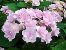 And Me Malvorlagen Romantis Hydrangea Macrophylla Grandiflora