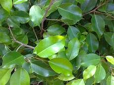 weeping fig ficus care and growing guide