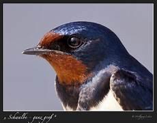 quot schwalbe ganz gro 223 quot foto bild tiere wildlife