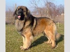 Leonberger   Hond te KoopHond te Koop