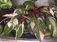 Damn Plants Space Violet Pink Princess Philodendron