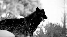 supreme wolf wallpaper wolf backgrounds for desktop 64 images