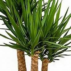 yucca palme pflegen yucca palme palmlilie pflege