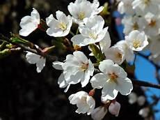 fior di ciliegio a dresda fioriscono i ciliegi 7 gradi est