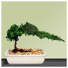 bonsai tree live juniper house plant indoor hooseplant new