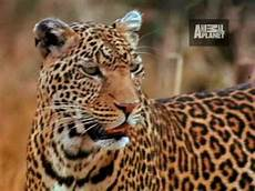 jaguar ou leopard ultimate animal leopard mothers