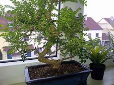 Bonsai Pflege Zanthoxylum Piperitum Pflanzen