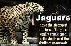 jaguar information for meet the terrifically powerful rainforest animal the jaguar
