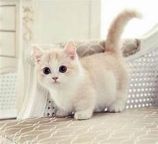 Katze Mit Kurzen Beinen - adorable legs of munchkin cat and