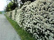 fiori profumati da giardino 27 fantastiche immagini su siepi nel 2017 giardini