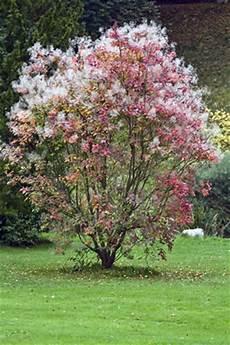 pflanzen für trockene schattige standorte federbuschstrauch fothergilla pflanzen pflege und