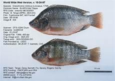 Ikan Nila Budidaya Ikan Ikan Hias Resep Ikan