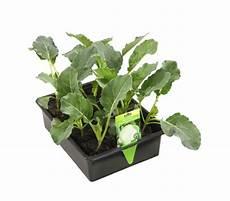 blumenkohl pflanzen abstand blumenkohl 12er schale dehner garten center