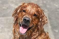 7 1 mon chien sent mauvais quand il a le poil mouill 233