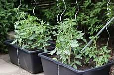 tomaten im hochbeet hochbeet im m 246 rtelkasten anlegen the inspiring