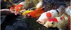 bassin faut il nourrir les poissons en hiver animogen