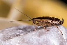 können kakerlaken fliegen 10 skurrile fakten 252 ber kakerlaken mausklick