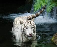 Harimau Putih Wallpaper Hidup For Android Apk