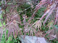 garden pests and diseases japanese maple leaf fall 4 by