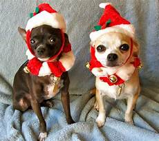 here are some photos of pets wearing christmas costumes riot