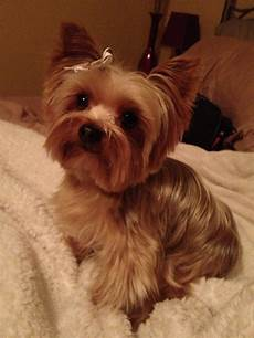 yorkie haircuts yorkie pet dog haircuts hairstylo