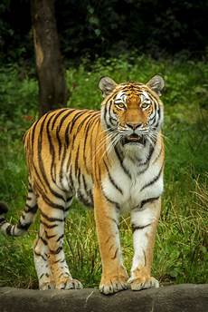 tiger in green grass near the tree during daytime 183 free