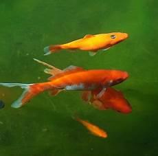 list of pond fish that eat algae top pond algae eaters