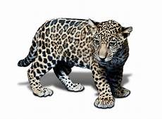 black jaguar white tiger black jaguar white tiger