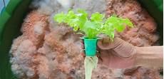 Metode Membuat Nutrisi Hidroponik Dengan Nasi Basi