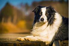 8 grooming tips for short haired border collies hairstylec