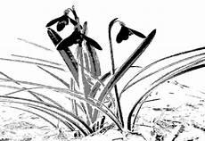 Blumen Malvorlagen Kostenlos Xyz Narzissen Blumen Bildvorlage Zum Ausmalen