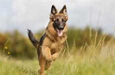 top 10 german breeds