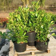 Cheap Laurel Hedging Plants Buy Hedging Plants Cheap