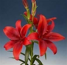 significato fiori giglio significato giglio linguaggio dei fiori