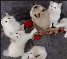 ragdoll à donner disponible chaton ragdoll a donner