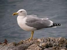 gabbiano reale birdwatching in liguria osservazione e riconoscimento