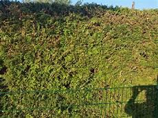 Hilfe Meine Thuja Hecke Wird Pl 246 Tzlich Braun Garten