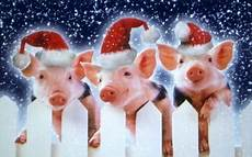 merry christmas pigs and new year pinterest