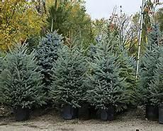 Weihnachtsbaum Im Topf Einpflanzen