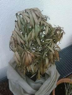 Oleander Draussen überwintern - oleander wieder aufp 228 ppeln pflegen schneiden