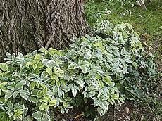installer un couvre sol sous un arbre couvre sol