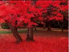 Erable Rouge Du Japon Erable Du Japon Opus Mon Jardin Secret