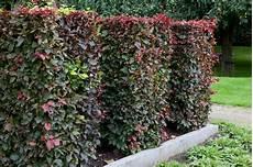 lebender zaun immergrün rodebeuk be rode beukenhaag kopen bij een vertrouwde kweker