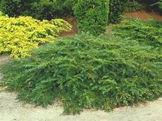 arbustes nains pour rocaille taxus baccata repandens if conif 232 re nain