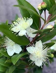 fiori di mirto gran tour d italia la sardegna la pianta mirto