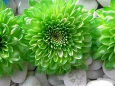 green flower iphone wallpaper hd green flowers wallpapers high quality free