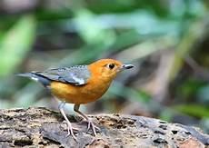 Burung Anis Aneka Jenis Gambar Burung Anis